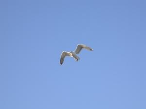 gull_m